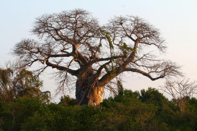5 bienfaits du Baobab: un superaliment pour booster sa santé